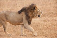 Męski lew w sawannie Ngorongoro krater, Tanzania, obraz royalty free
