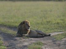Męski lew wygrzewa się w ranku świetle przy Masai Mara Obrazy Royalty Free