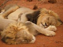 Męski lwów relaksować Obrazy Royalty Free