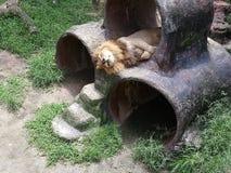 Męski lwa dosypianie w jego klatce Johor Bahru obraz stock