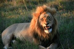 M?ski lwa lying on the beach na trawie z usta stronniczo otwartymi odkrywczymi z?bami obraz stock