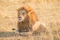 Męski lwa lying on the beach w trawie gapi się z lewej strony Zdjęcie Royalty Free
