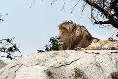 Męski lwa obsiadanie na rockowy siedzący z ukosa Fotografia Stock