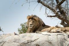 Męski lwa obsiadanie na rockowym siedzącym z ukosa i przyglądającym straigh Zdjęcia Royalty Free