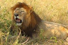 Męski lwa odpoczywać Zdjęcia Royalty Free
