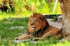 Męski lwa odpoczywać (Panthera Leo) Obraz Royalty Free