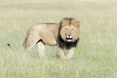 Męski lwa odprowadzenie na sawannie patrzeje w odległości Fotografia Royalty Free