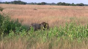 Męski lwa odprowadzenie przez wysokiej trawy zbiory wideo