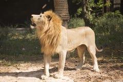 Męski lwa patrzeć Zdjęcia Royalty Free