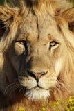 Męski lwa portret afryce kanonkop słynnych góry do południowego malowniczego winnicę wiosna Obrazy Royalty Free