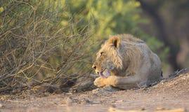 Męski lwa przygotowywać (Panthera Leo) Obraz Stock