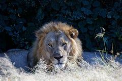 Męski lwa strzeżenie podczas gdy rodzina śpi zdjęcie stock