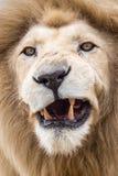 Męski lwa warknięcie Obrazy Stock