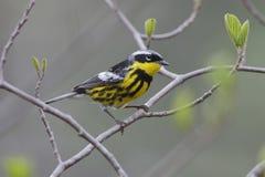 Męski Magnoliowy Warbler obraz stock
