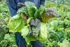 Męski mienie Bunched ogrodniczka liście w Zielonym Chard polu Fotografia Royalty Free