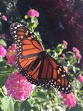 Męski monarchiczny motyl na różowych kwiatach Zdjęcia Royalty Free