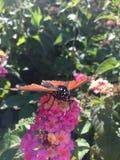 Męski monarchiczny motyl na różowych kwiatach Obraz Royalty Free