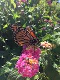Męski monarchiczny motyl na różowych kwiatach Fotografia Royalty Free