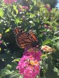 Męski monarchiczny motyl na różowych kwiatach Zdjęcie Stock