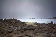 Męski niedźwiedź polarny kłama na brzuchu jak mężczyzna zdjęcia royalty free