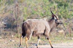 Męski Nyala odprowadzenie w krzaku Przyroda safari w Kruger parku narodowym, specjalizuje się podróży miejsce przeznaczenia w Poł Fotografia Stock