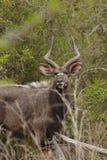 Męski Nyala Południowa Afryka Fotografia Stock