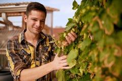 Męski ogrodniczki oceniać podskakuje na dachu ogródzie dla organicznie piwnej produkci Obraz Stock