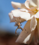 Męski Ogrodowy pająk Obrazy Stock