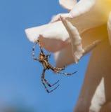 Męski Ogrodowy pająk Obrazy Royalty Free