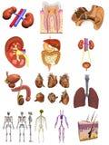 Męski organów 12 set royalty ilustracja