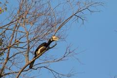Męski Orientalny pied dzioborożec ptak w czarnym białym obsiadaniu na drzewie Obraz Royalty Free