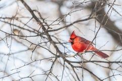 Męski Północny cadinal ptak Zdjęcia Royalty Free