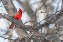 Męski Północny cadinal ptak Zdjęcie Stock