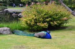 Męski pawi kłaść w trawie Zdjęcie Stock