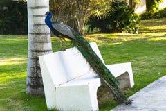 Męski pawi obsiadanie na białej ławce z kolorowym ogonu obwieszeniem obrazy stock