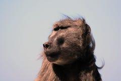 Męski pawian w Południowa Afryka Obraz Royalty Free