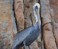 Męski pelikan umieszczał na falezie na Los Arcos, ziemie/Kończy w Cabo San Lucas Baj Meksyk Zdjęcie Stock