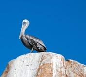 Męski pelikan umieszczał na losu angeles Anegada skale przy ziemiami Kończy przy Cabo San Lucas Baj Meksyk Obraz Royalty Free