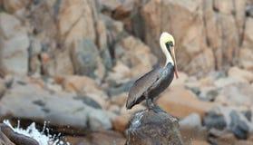 Męski pelikan umieszczał na Pelikan skale w Cabo San Lucas Baj Meksyk Zdjęcie Royalty Free