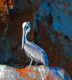 Męski pelikan zaświecał up ranku słońcem na Pelikan skale w Cabo San Lucas Baj Meksyk Zdjęcie Royalty Free