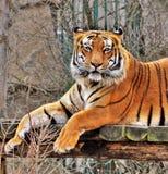 męski portret profilu tygrysa gapienia się Obrazy Royalty Free