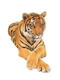 męski portret profilu tygrysa gapienia się Zdjęcie Stock