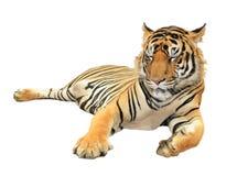 męski portret profilu tygrysa gapienia się Zdjęcia Stock