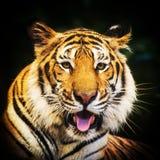 męski portret profilu tygrysa gapienia się Fotografia Royalty Free