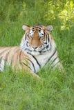 męski portret profilu tygrysa gapienia się Obrazy Stock