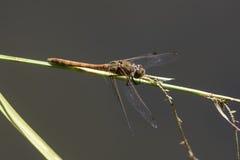 Męski Pospolity Wężowy & x28; Sympetrum striolatum& x29; dragonfly Zdjęcia Stock