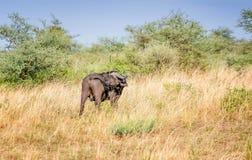 Męski przylądka bizon w Tanzania, Afryka Zdjęcie Royalty Free