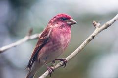 Męski purpurowego finch tyczenie na gałąź Zdjęcia Royalty Free