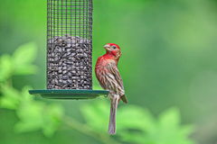 Męski Purpurowy Domowy Finch Fotografia Stock