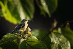 Męski purpurowy sunbird umieszczający i czekanie fotografia royalty free